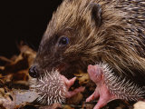 Hedgehog Carrying Newborn to New Nest (Erinaceus Europaeus)  UK