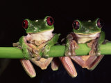 Maroon Eyed Leaf Frogs  Esmeraldas  Ecuador