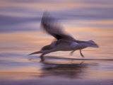 Black Skimmer Skimming at Sunset  Florida  USA