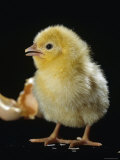 Light Sussex Hen Chick