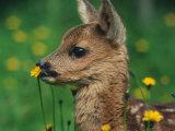 Roe Deer Fawn (Capreolus Capreolus) Europe