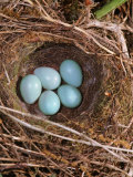 Hedge Sparrow / Dunnock  Nest with Five Eggs  UK