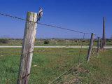 Female Ladder Backed Woodpecker  Cavity in Fence Post  Welder Wildlife Refuge  Sinton  Texas  USA