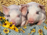 Two Domestic Piglets  Mixed-Breed