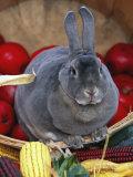 Domestic Rabbit  Mini Rex Breed