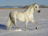 Grey Andalusian Stallion Trotting Through Snow  Colorado  USA