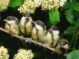 Great Tits  Five Fledgelings Perched in Row (Parus Major) Europe