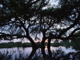 Oak Tree Silhouette at Sunset  Texas  USA