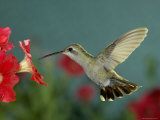 Broad Billed Hummingbird  Female Feeding on Petunia Flower  Arizona  USA
