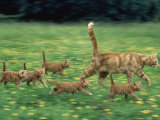 Ginger Domestic Cat Running with Litter of Five Kittens