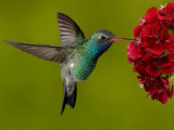 Broad-Billed Hummingbird  Male Feeding on Garden Flowers  USA