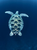 Green Sea Turtle  Indo Pacific
