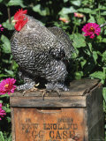 Domestic Chicken  Barred Rock Cohin Bantam Rooster  Iowa  USA