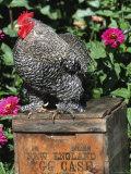 Domestic Chicken  Barred Rock Cohin Bantam Rooster  Iowa  USA