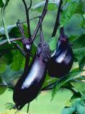 Eggplants / Aubergines (Solanum Melongena)