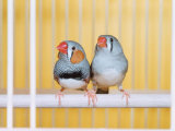 Spotted Sided Zebra Finches  Pair in Cage (Poephila / Taeniopygia Guttata)