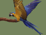 Blue and Yellow Macaw  Landing on a Perch