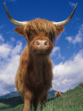 Highland Cattle Bull Portrait  Scotland  UK