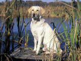 Golden Labrador Retriever Dog Portrait  Sitting by Water