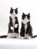 Domestic Cat  Two Black-And-White Fluffy Kittens  Male Siblings