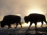 Two Bison Silhouetted Against Rising Sun  Yellowstone National Park  Wyoming  USA