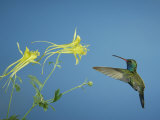 Broad Billed Hummingbird  Male Feeding on Longspur Columbine Flower  Arizona  USA