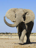 African Elephant  Walking  Namibia
