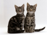 Domestic Cat  Two 8-Week Tabby Kittens  Male and Female