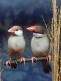 Java Sparrows  Cream (Padda Oryzivora)