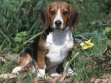 Beagle Dog Portrait