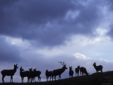 Red Deer Herd Silhouette at Dusk  Strathspey  Scotland  UK