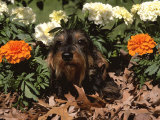 Dachshund Dog Amongst Flowers  USA