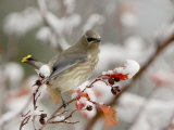 Cedar Waxwing  Young on Hawthorn with Snow  Grand Teton National Park  Wyoming  USA