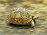 Leopard Tortoise (Geochelone Pardalis) Running