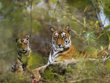 Female Tiger  with Four-Month-Old Cub  Bandhavgarh National Park  India