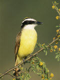 Great Kiskadee  Texas  USA