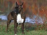Boxer Dog  Illinois  USA