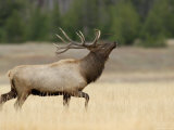 Elk  Bull Bugling in Rut  Yellowstone National Park  Wyoming  USA