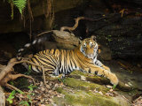 Tiger  Lying on Stone and Flicking Tail  Bandhavgarh National Park  India