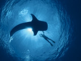Whale Shark and Person Swimming in Silhouette  Indo Pacific