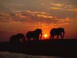 African Elephant Bulls Silhouetted at Sunset  Chobe National Park  Botswana