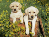 Two Labrador Retriever Puppies  USA