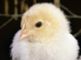 Portrait of a Chick  3-Week-Old
