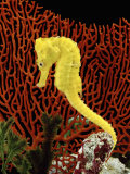 Golden Seahorse  Portraits  UK