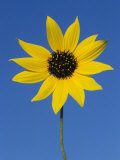 Sunflower  in Bloom  Welder Wildlife Refuge  Rockport  Texas  USA