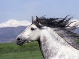 Grey Andalusian Stallion Head Portrait  Colorado  USA