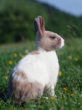 Domestic Dwarf Rabbit  Europe