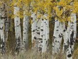 Aspen Trees in Autumn  Grand Teton National Park  Wyoming  USA