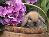 Baby Holland Lop Eared Rabbit in Basket  USA