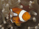 False Clown Anemonefish  in Anemone  Indo-Pacific